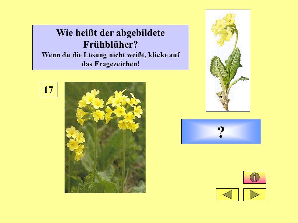 ? 17 Wie heißt der abgebildete Frühblüher? Wenn du die Lösung nicht weißt, klicke auf das Fragezeichen!