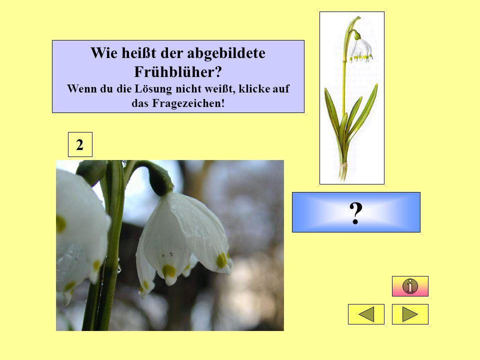 Wie heißt der abgebildete Frühblüher? Wenn du die Lösung nicht weißt, klicke auf das Fragezeichen! ? 2
