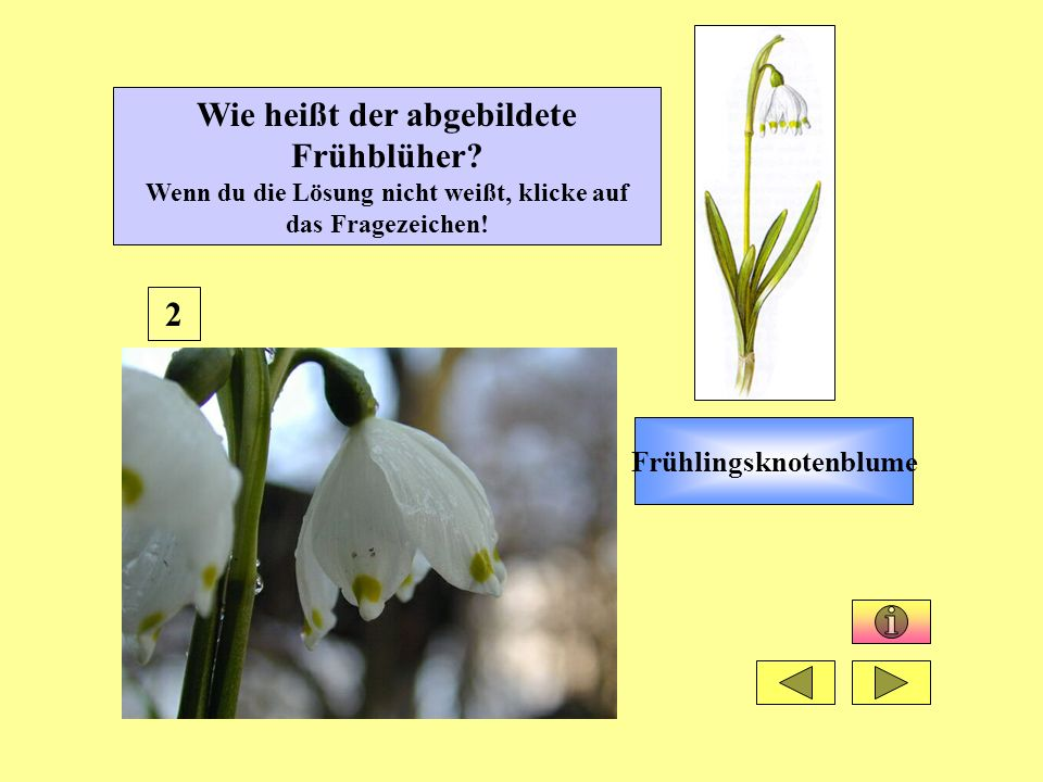 13 Wie heißt der abgebildete Frühblüher.