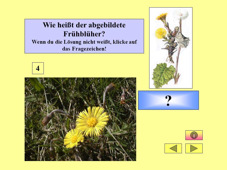 Huflattich 4 Wie heißt der abgebildete Frühblüher.