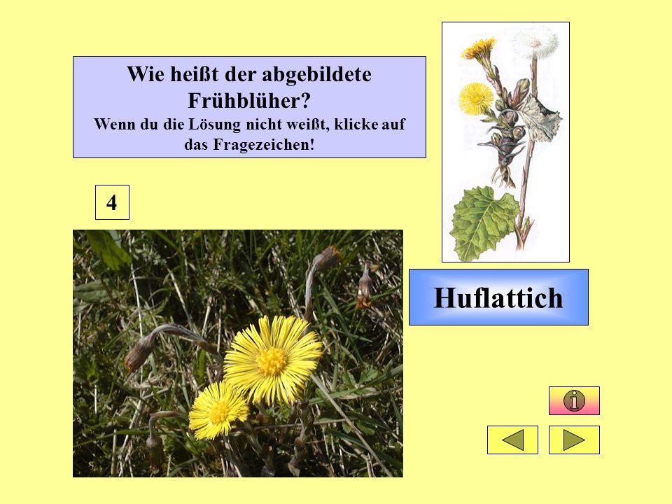 Huflattich 4 Wie heißt der abgebildete Frühblüher? Wenn du die Lösung nicht weißt, klicke auf das Fragezeichen!
