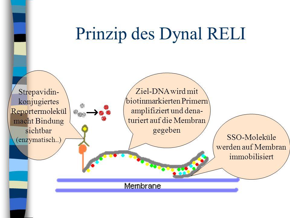 Prinzip des Dynal RELI SSO-Moleküle werden auf Membran immobilisiert Ziel-DNA wird mit biotinmarkierten Primern amplifiziert und dena- turiert auf die
