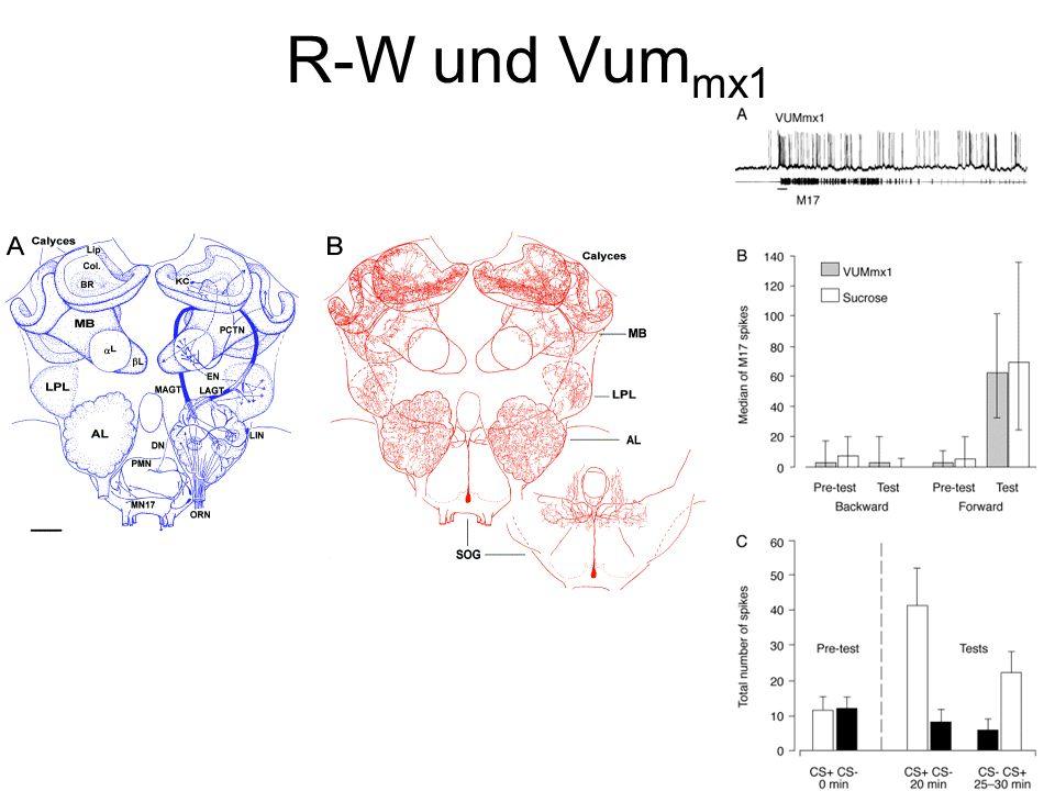 R-W und Vum mx1