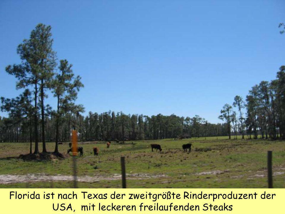 Florida ist nach Texas der zweitgrößte Rinderproduzent der USA, mit leckeren freilaufenden Steaks