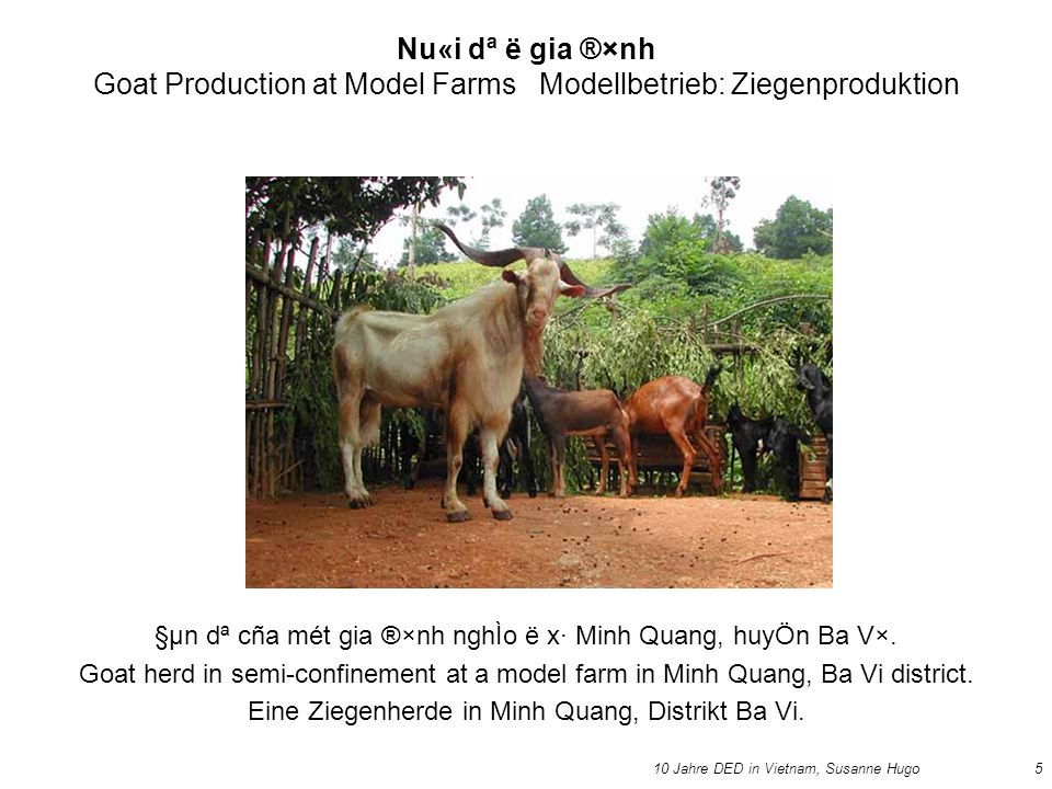 10 Jahre DED in Vietnam, Susanne Hugo5 Nu«i dª ë gia ®×nh Goat Production at Model Farms Modellbetrieb: Ziegenproduktion §µn dª cña mét gia ®×nh nghÌo ë x· Minh Quang, huyÖn Ba V×.
