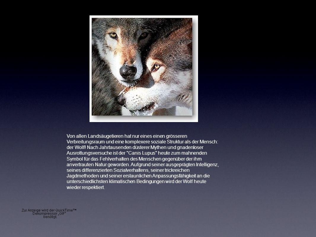 Von allen Landsäugetieren hat nur eines einen grösseren Verbreitungsraum und eine komplexere soziale Struktur als der Mensch: der Wolf! Nach Jahrtause