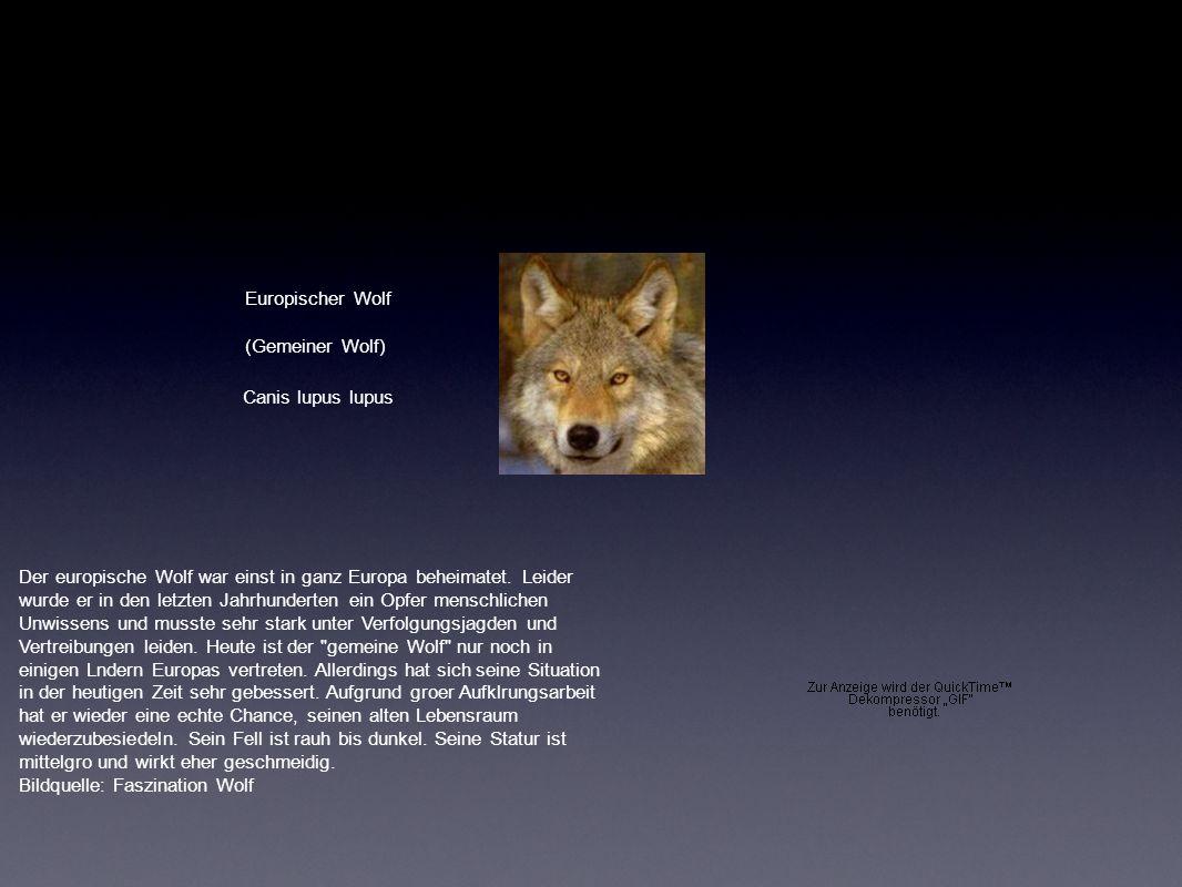 Europischer Wolf (Gemeiner Wolf) Canis lupus lupus Der europische Wolf war einst in ganz Europa beheimatet. Leider wurde er in den letzten Jahrhundert