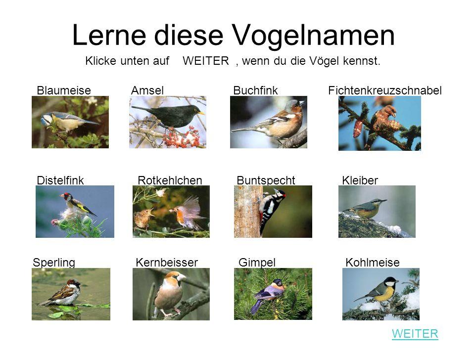 Lerne diese Vogelnamen Blaumeise Amsel Buchfink Fichtenkreuzschnabel Distelfink Rotkehlchen Buntspecht Kleiber Sperling Kernbeisser Gimpel Kohlmeise K