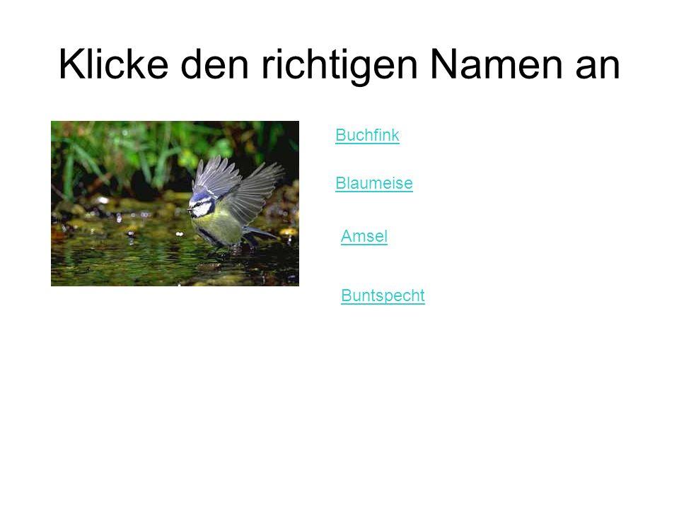 Klicke den richtigen Namen an Buchfink Blaumeise Amsel Buntspecht