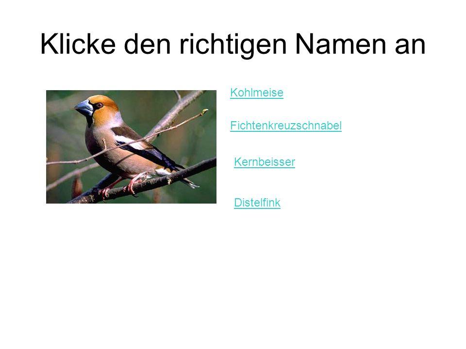 Klicke den richtigen Namen an Kohlmeise Fichtenkreuzschnabel Kernbeisser Distelfink