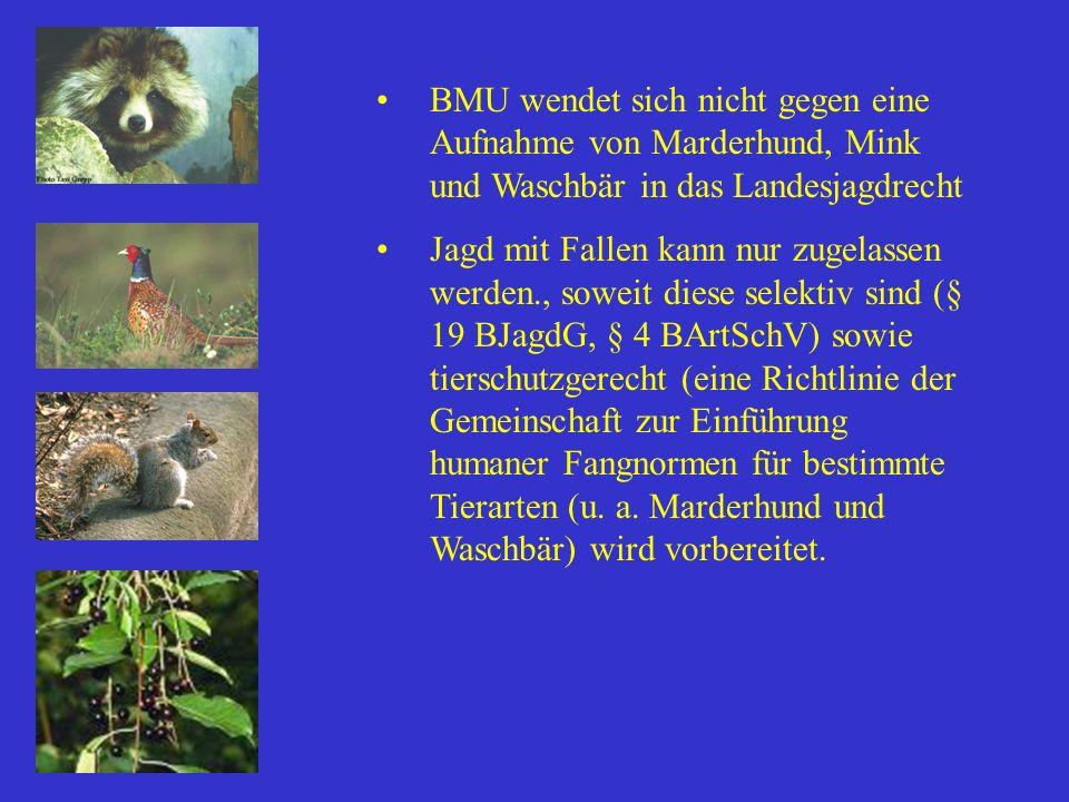 BMU wendet sich nicht gegen eine Aufnahme von Marderhund, Mink und Waschbär in das Landesjagdrecht Jagd mit Fallen kann nur zugelassen werden., soweit