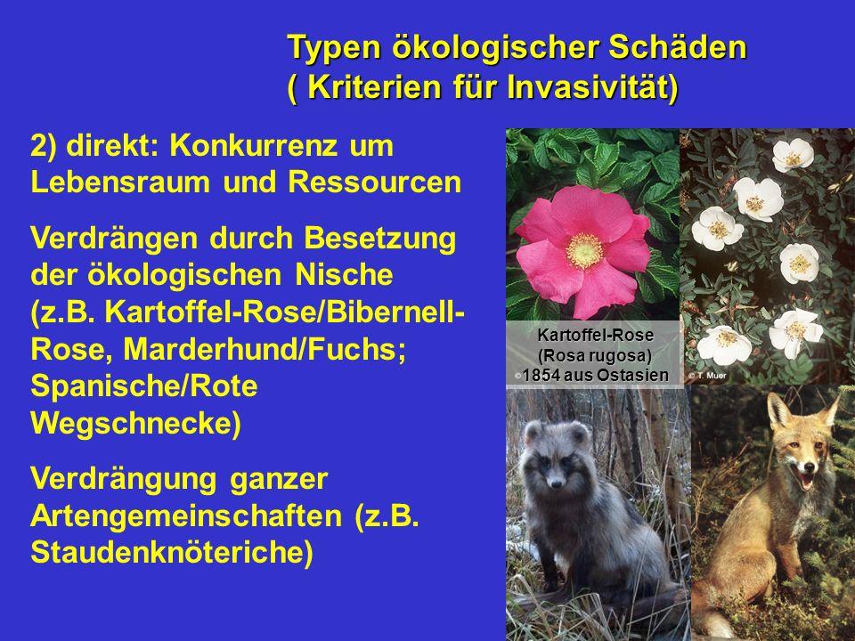 2) direkt: Konkurrenz um Lebensraum und Ressourcen Verdrängen durch Besetzung der ökologischen Nische (z.B. Kartoffel-Rose/Bibernell- Rose, Marderhund