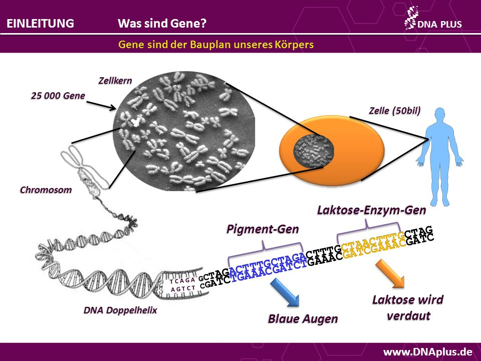www.DNAplus.de EINLEITUNGWas sind Gene? Gene sind der Bauplan unseres Körpers DNAPLUS Pigment-Gen Laktose-Enzym-Gen T C A G A A G T C T G C T AGACTTTG