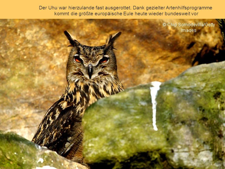 Der Luchs gehört in Deutschland zu den vom Aussterben bedrohten Tierarten. Sein Vetter, der Iberische Luchs, könnte bald weltweit aussterben: Schätzun