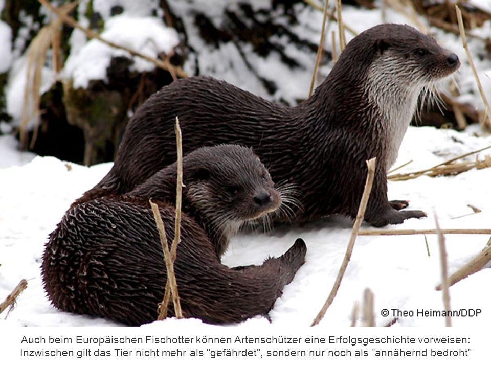 Der Uhu war hierzulande fast ausgerottet. Dank gezielter Artenhilfsprogramme kommt die größte europäische Eule heute wieder bundesweit vor