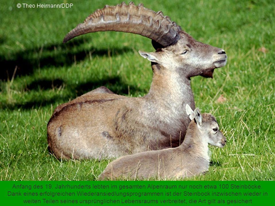 Bis vor wenigen Jahren stand der Graue Kranich auf der Roten Liste der gefährdeten Arten. Intensive Schutzmaßnahmen, insbesondere die Wiederherstellun