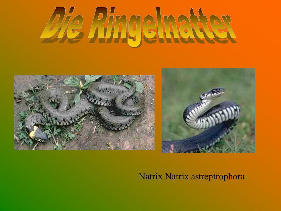 Natrix Natrix astreptrophora