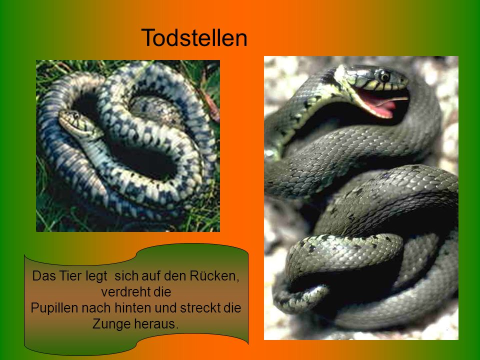 Das Tier legt sich auf den Rücken, verdreht die Pupillen nach hinten und streckt die Zunge heraus. Todstellen