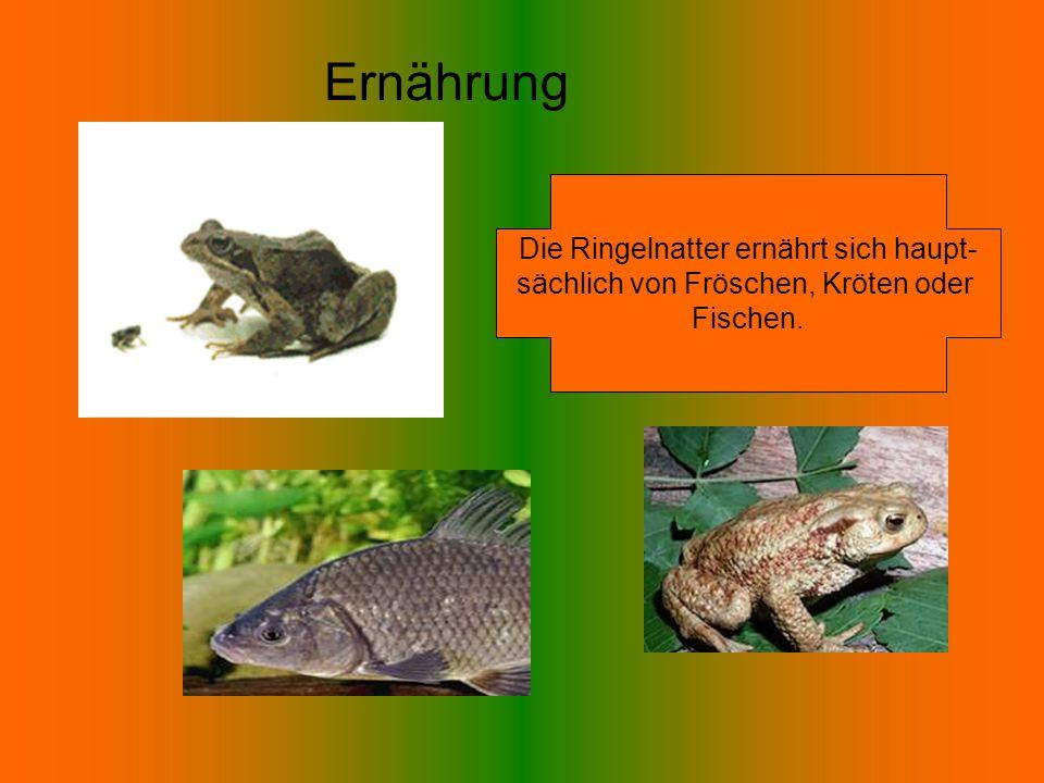 Die Ringelnatter ernährt sich haupt- sächlich von Fröschen, Kröten oder Fischen. Ernährung