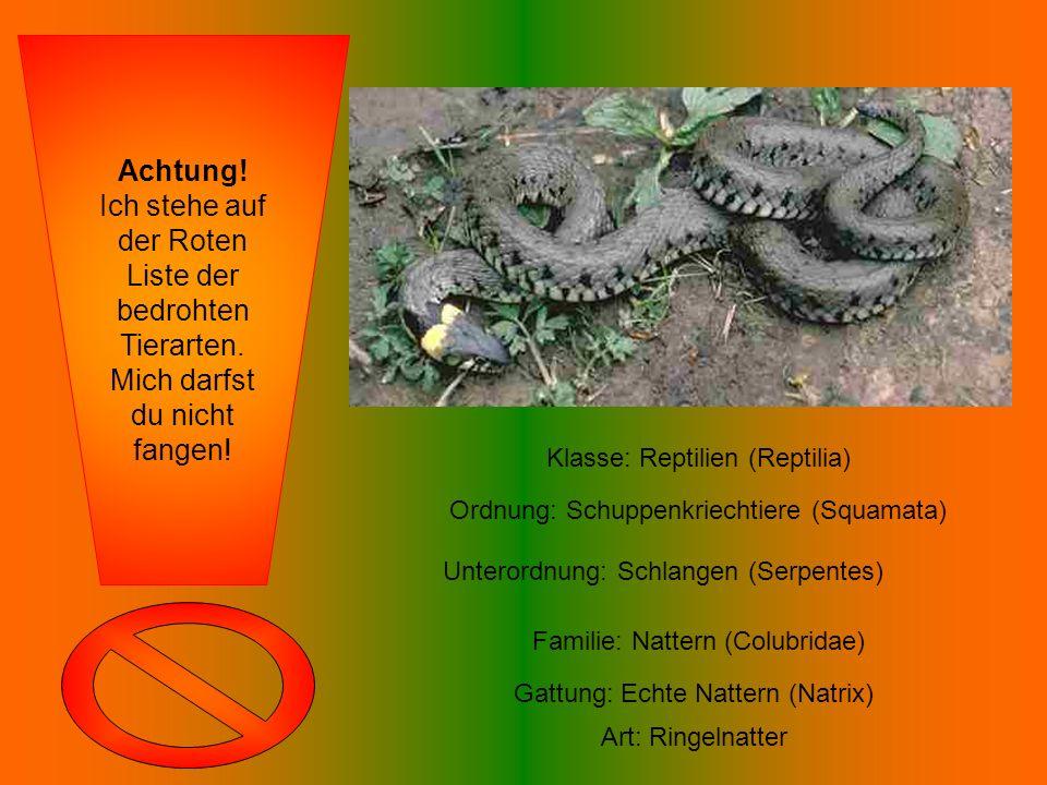 Klasse: Reptilien (Reptilia) Ordnung: Schuppenkriechtiere (Squamata) Unterordnung: Schlangen (Serpentes) Familie: Nattern (Colubridae) Gattung: Echte