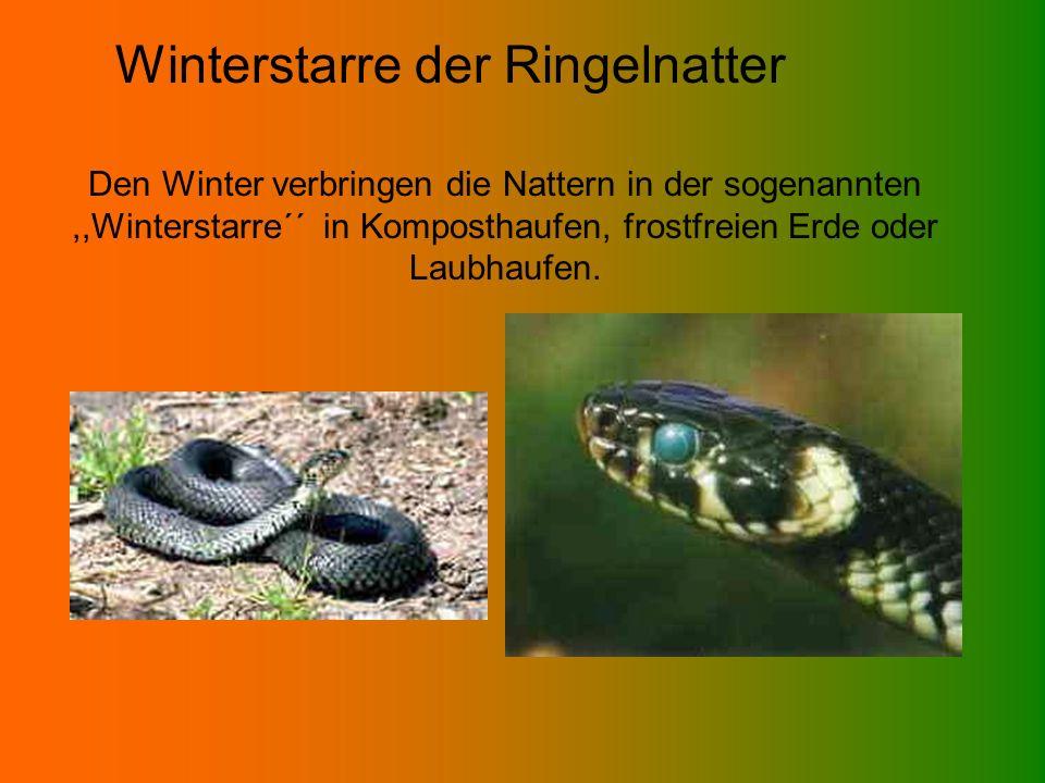 Winterstarre der Ringelnatter Den Winter verbringen die Nattern in der sogenannten,,Winterstarre´´ in Komposthaufen, frostfreien Erde oder Laubhaufen.