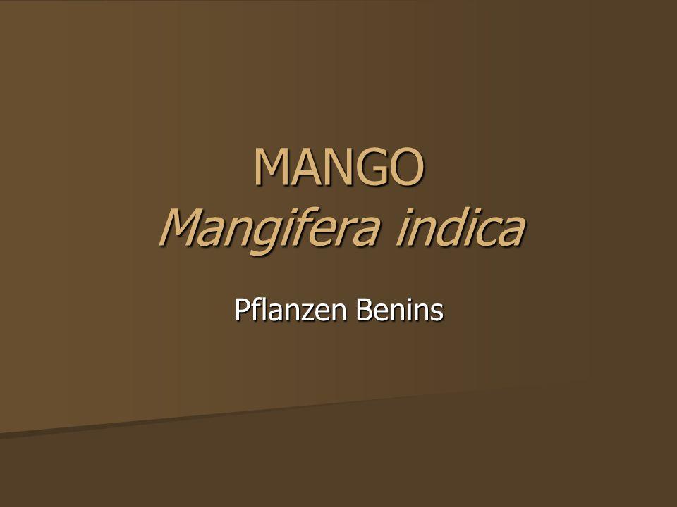 MANGO Mangifera indica Pflanzen Benins