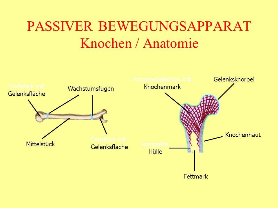PASSIVER BEWEGUNGSAPPARAT Knochen / Anatomie Endstück mit Gelenksfläche Mittelstück Wachstumsfugen GelenksknorpelKnochenbälkchen mit Knochenmark Knoch