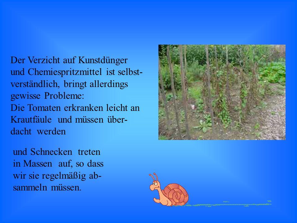 Der Verzicht auf Kunstdünger und Chemiespritzmittel ist selbst- verständlich, bringt allerdings gewisse Probleme: Die Tomaten erkranken leicht an Krautfäule und müssen über- dacht werden und Schnecken treten in Massen auf, so dass wir sie regelmäßig ab- sammeln müssen.