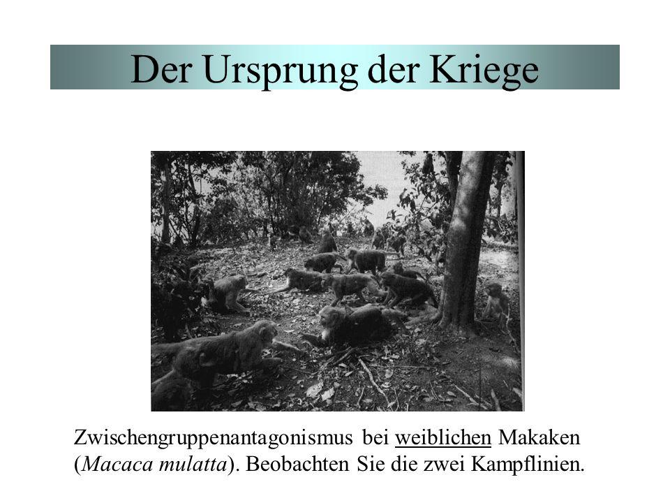Der Ursprung der Kriege Zwischengruppenantagonismus bei weiblichen Makaken (Macaca mulatta). Beobachten Sie die zwei Kampflinien.