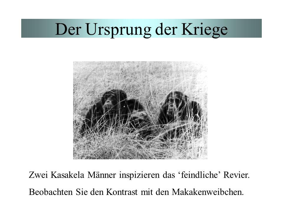 Der Ursprung der Kriege Zwei Kasakela Männer inspizieren das feindliche Revier. Beobachten Sie den Kontrast mit den Makakenweibchen.