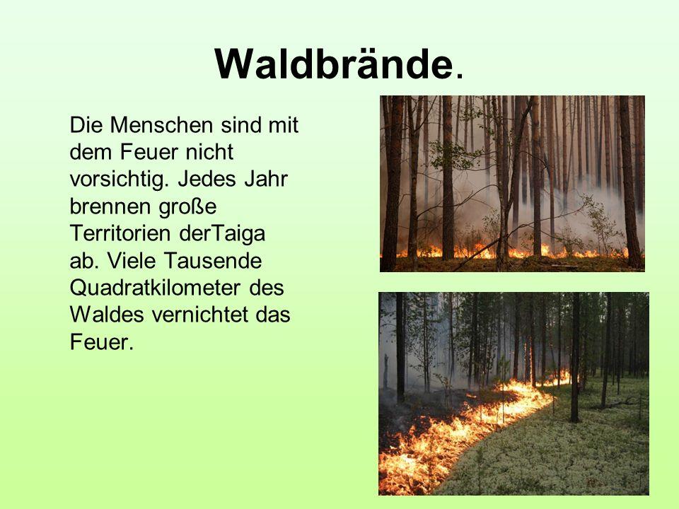 Waldbrände. Die Menschen sind mit dem Feuer nicht vorsichtig. Jedes Jahr brennen große Territorien derTaiga ab. Viele Tausende Quadratkilometer des Wa