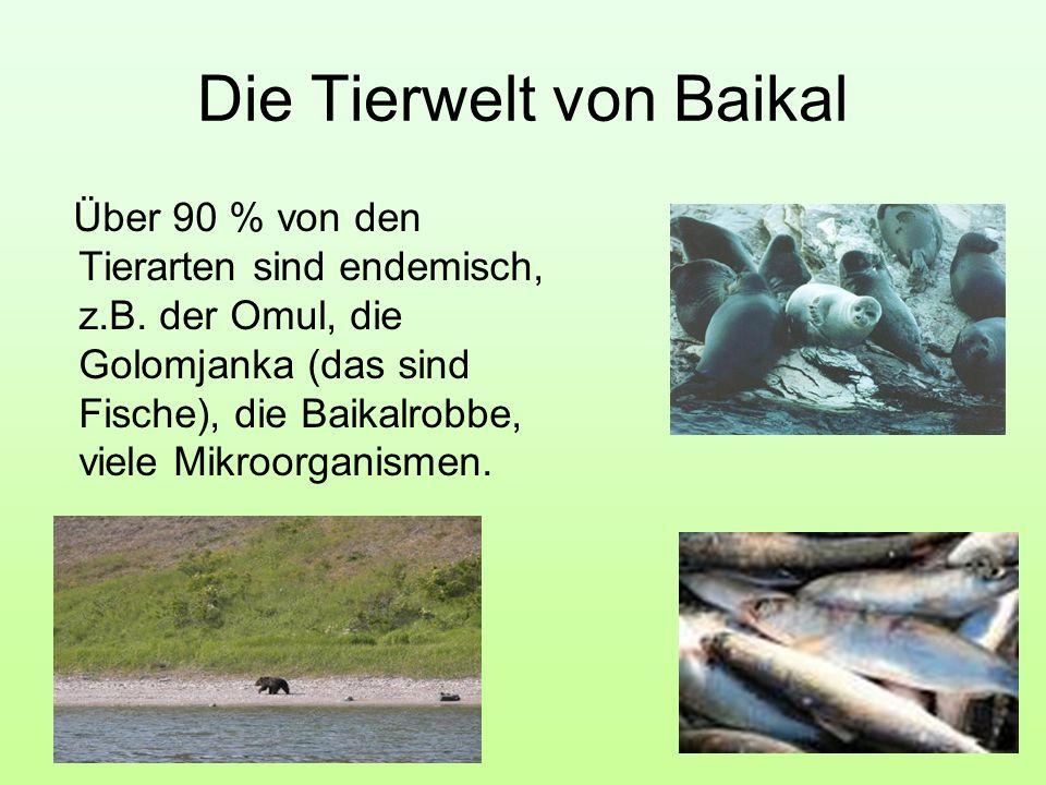 Die Tierwelt von Baikal Über 90 % von den Tierarten sind endemisch, z.B. der Omul, die Golomjanka (das sind Fische), die Baikalrobbe, viele Mikroorgan