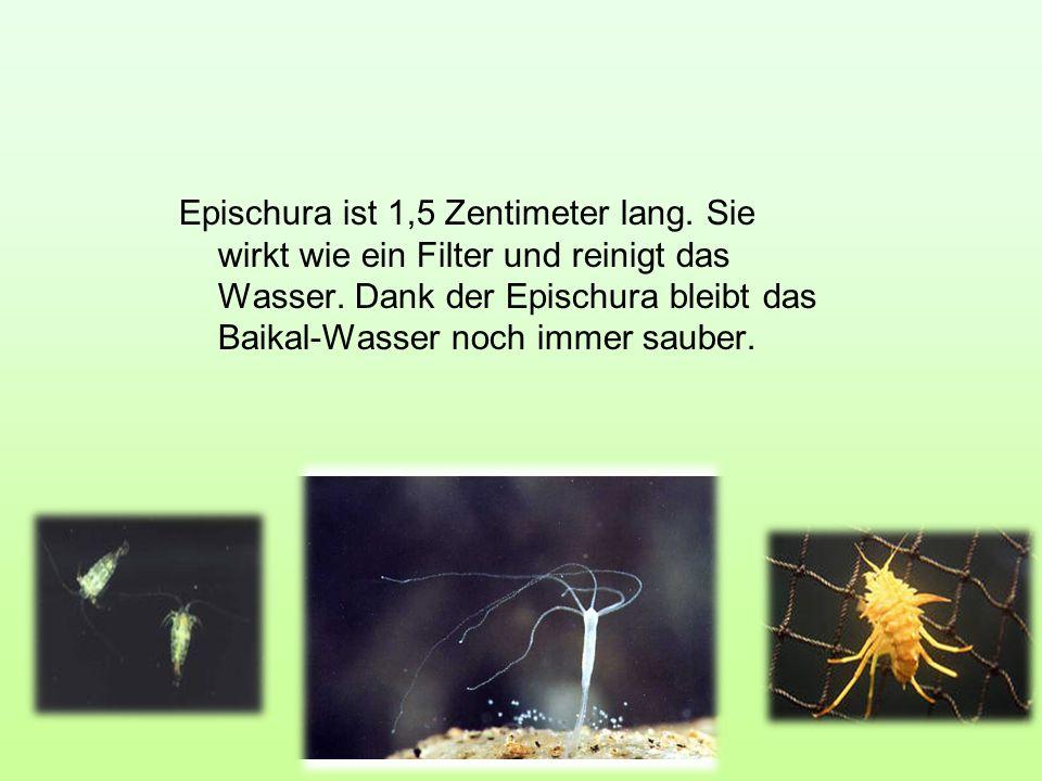 Epischura ist 1,5 Zentimeter lang. Sie wirkt wie ein Filter und reinigt das Wasser. Dank der Epischura bleibt das Baikal-Wasser noch immer sauber.