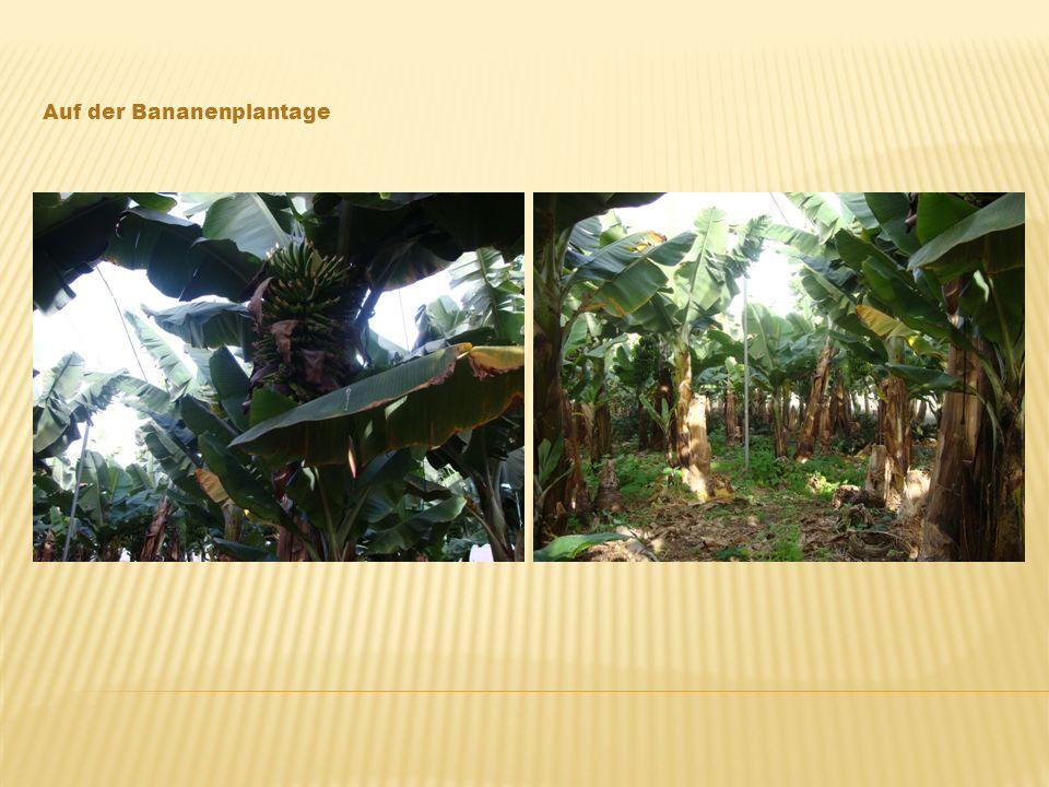 Auf der Bananenplantage