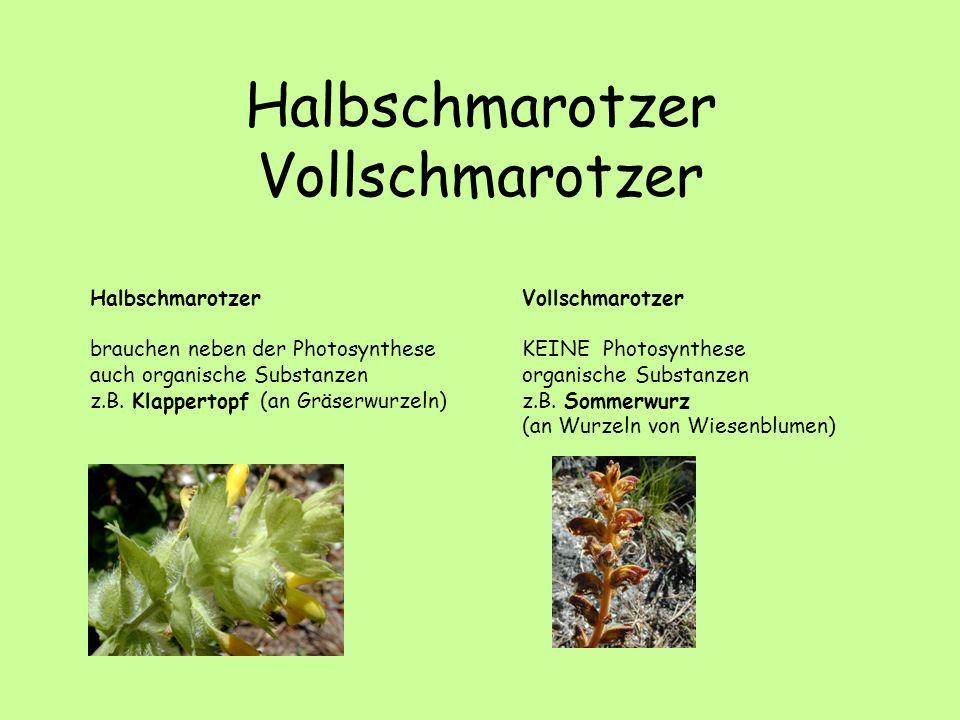 Halbschmarotzer Vollschmarotzer Halbschmarotzer brauchen neben der Photosynthese auch organische Substanzen z.B. Klappertopf (an Gräserwurzeln) Vollsc