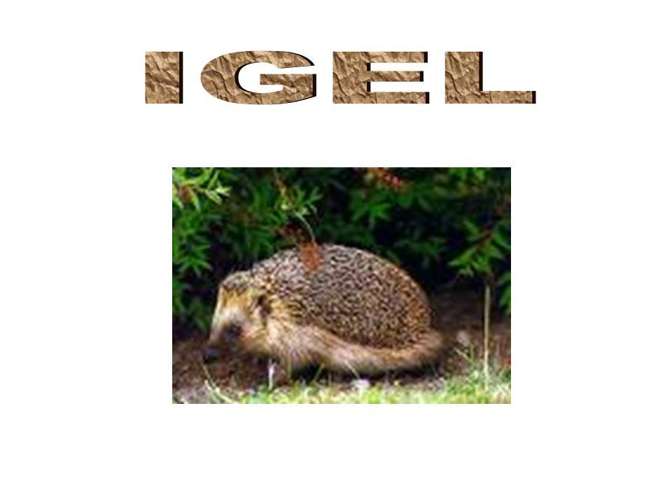 Vorkommen Igel leben seit 60 millionen Jahren In Ost- (Weißbrustigel) und Westeuropa (Braunbrustigel) In Berlin beide Arten Leben in den Wäldern und Gärten