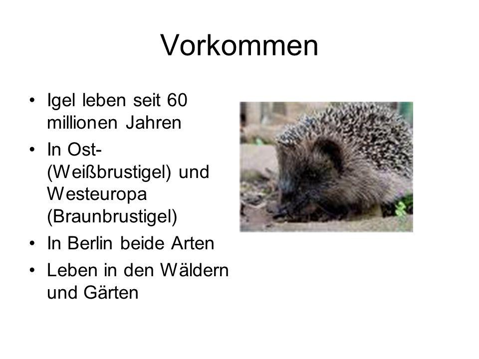 Vorkommen Igel leben seit 60 millionen Jahren In Ost- (Weißbrustigel) und Westeuropa (Braunbrustigel) In Berlin beide Arten Leben in den Wäldern und G