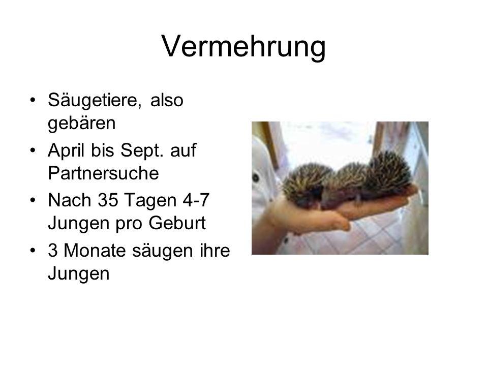 Vermehrung Säugetiere, also gebären April bis Sept. auf Partnersuche Nach 35 Tagen 4-7 Jungen pro Geburt 3 Monate säugen ihre Jungen