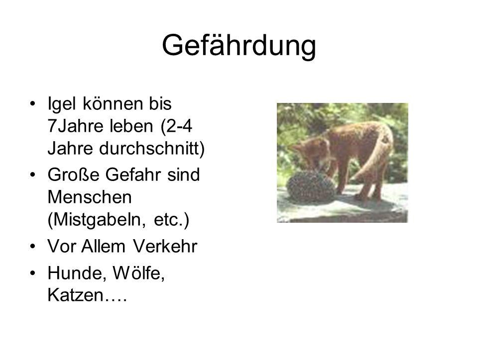 Gefährdung Igel können bis 7Jahre leben (2-4 Jahre durchschnitt) Große Gefahr sind Menschen (Mistgabeln, etc.) Vor Allem Verkehr Hunde, Wölfe, Katzen…