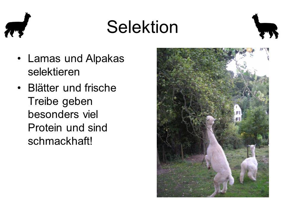 Selektion Lamas und Alpakas selektieren Blätter und frische Treibe geben besonders viel Protein und sind schmackhaft!