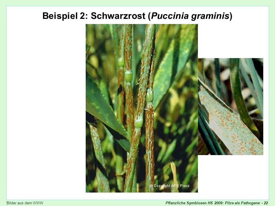 Pflanzliche Symbiosen HS 2009: Pilze als Pathogene - 22 Puccinia graminis Beispiel 2: Schwarzrost (Puccinia graminis) Bilder aus dem WWW