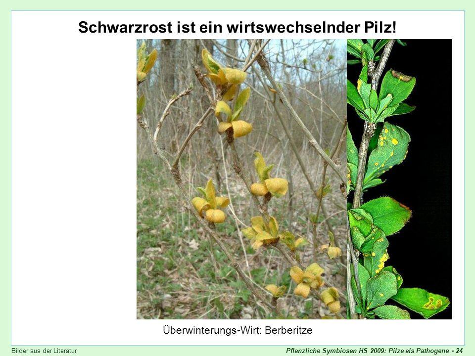 Pflanzliche Symbiosen HS 2009: Pilze als Pathogene - 24 Puccinia graminis - Berberitze Schwarzrost ist ein wirtswechselnder Pilz! Überwinterungs-Wirt: