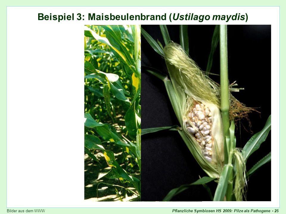 Pflanzliche Symbiosen HS 2009: Pilze als Pathogene - 25 Ustilago maydis Beispiel 3: Maisbeulenbrand (Ustilago maydis) Bilder aus dem WWW