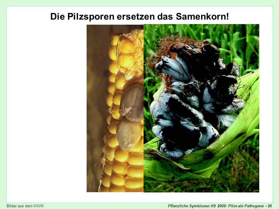 Pflanzliche Symbiosen HS 2009: Pilze als Pathogene - 26 Ustilago maydis Die Pilzsporen ersetzen das Samenkorn! Bilder aus dem WWW