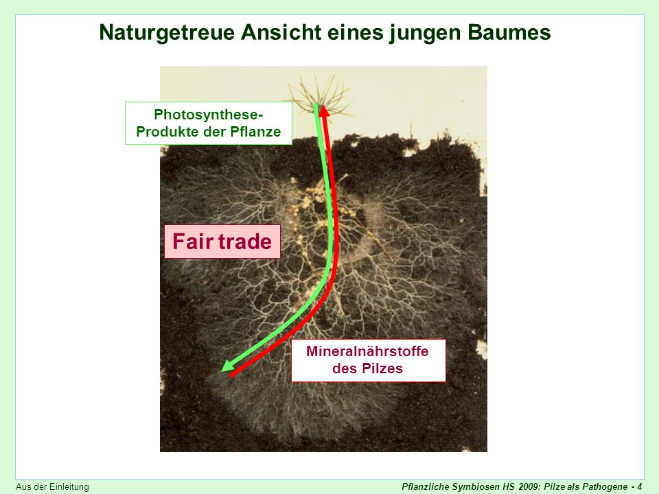 Pflanzliche Symbiosen HS 2009: Pilze als Pathogene - 5 Endomykorrhiza Mutualistische Symbiosen: Beispiel Endomycorrhiza Photosynthese- Produkte der Pflanze Mineralnährstoffe des Pilzes Fair trade Aus der Einleitung