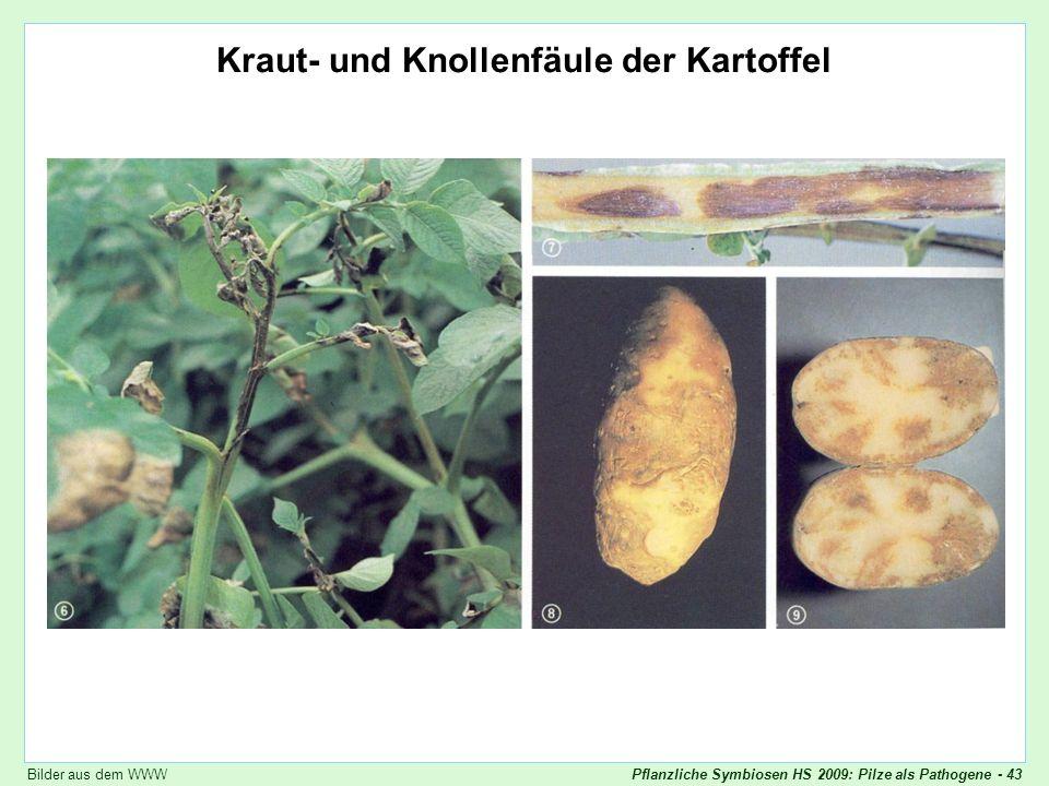 Pflanzliche Symbiosen HS 2009: Pilze als Pathogene - 43 Phytophthora infestans Kraut- und Knollenfäule der Kartoffel Bilder aus dem WWW