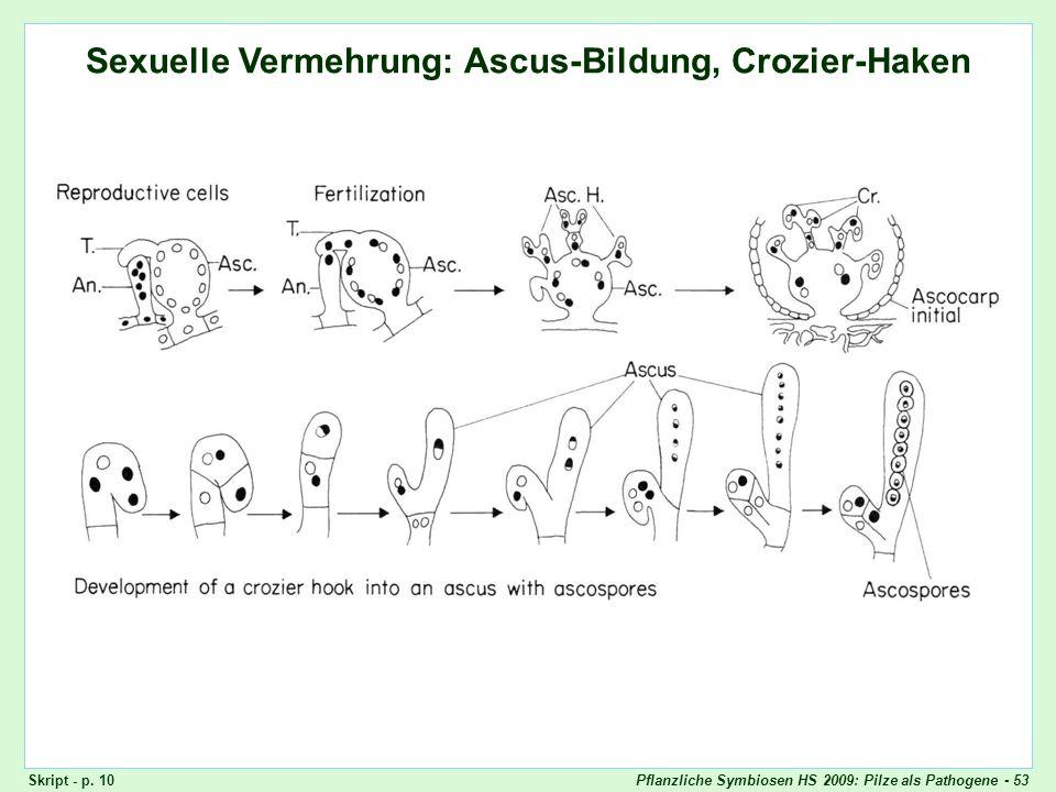 Pflanzliche Symbiosen HS 2009: Pilze als Pathogene - 53 Ascomyceten: Ascus-Bildung, Crozier-Haken Sexuelle Vermehrung: Ascus-Bildung, Crozier-Haken Sk