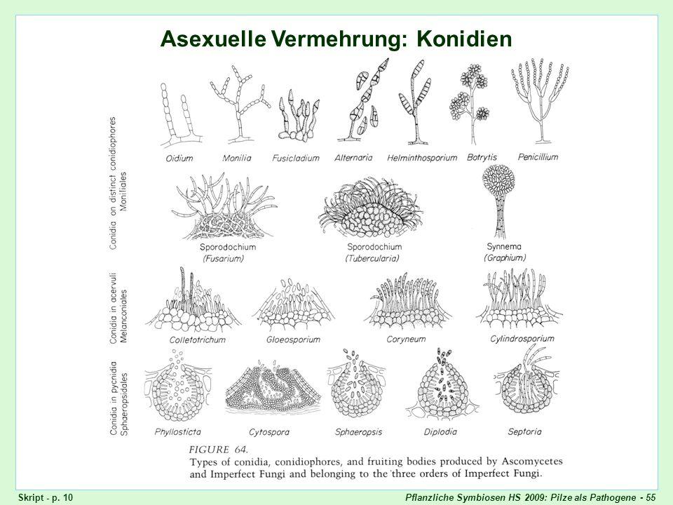 Pflanzliche Symbiosen HS 2009: Pilze als Pathogene - 55 Ascomyceten: Konidien Asexuelle Vermehrung: Konidien Skript - p. 10