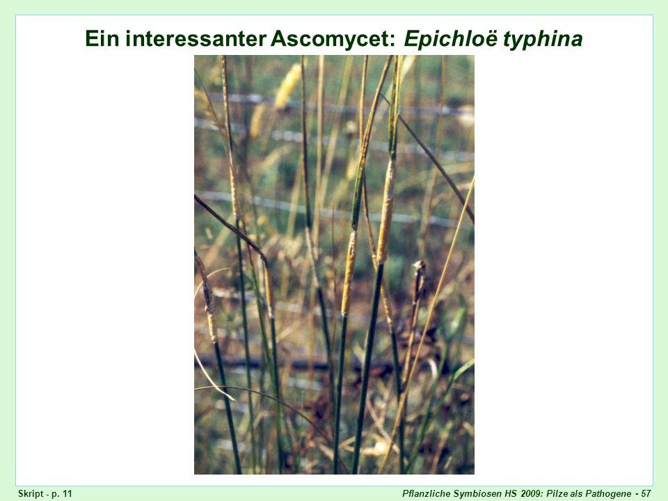 Pflanzliche Symbiosen HS 2009: Pilze als Pathogene - 57 Ein interessanter Ascomycet: Epichloë typhina Epichloë typhina, Stromata (Übersicht) Skript -