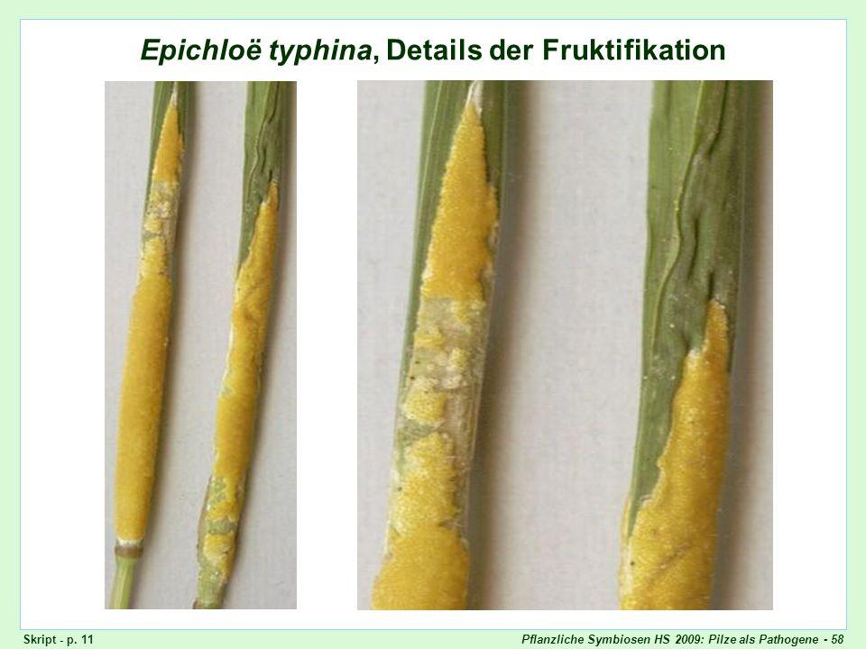 Pflanzliche Symbiosen HS 2009: Pilze als Pathogene - 58 Epichloë typhina, Details der Fruktifikation Epichloë typhina, Stromata (Detail) Skript - p. 1